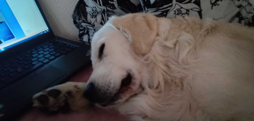 Writer´s golden retriever is sleeping in front of a laptop